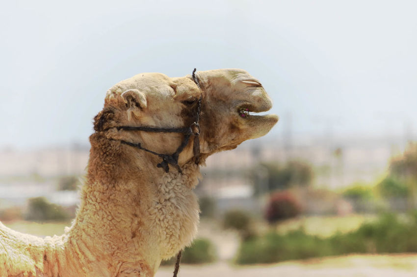 Camel Animal Body Part Animal Head  Animal Themes Brown Camels Close-up Day Focus On Foreground Giraffe Grazing Grazing Camel Harness Herbivorous Horned Hump Mammal Nature No People Outdoors Part Of Portrait Ride Selective Focus Transportation Transportation Vehicle