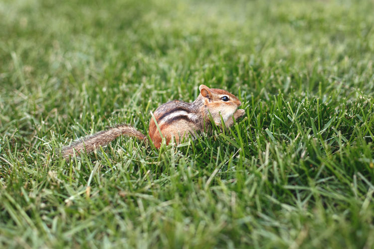 Cute small striped brown chipmunk sitting in green grass.  wild rodent animal in nature outdoor.