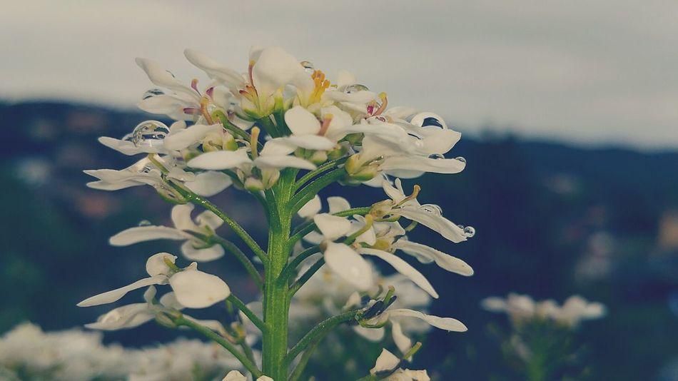 Flowers Flores Ciruelo