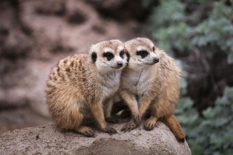 Close-up of meerkats on rock