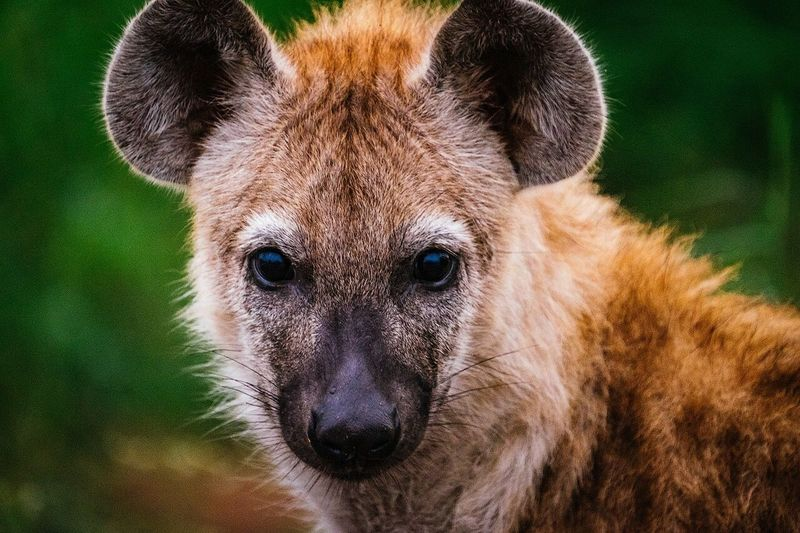 Close-up portrait of hyena