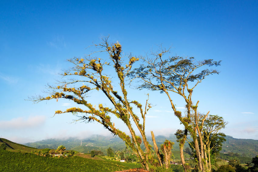 Early morning landscape view of a tree and hills covered in coffee plants near Manizales, Colombia Agriculture Coffee Colombia Farm Field Latin Manizales Natural Nature Plant Plants Travel Tree Bean Caldas Chinchina Colombian  Countryside Drink Forest Fresh Landscape Leaf Mountain South America