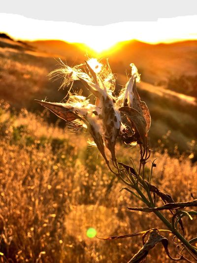 Sunset Plant Beauty In Nature Sunlight Growth Nature Sky Sun Field Orange Color