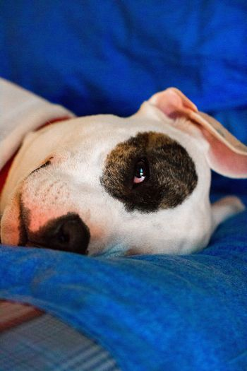 Always Be Cozy One Animal Pets Domestic Animals Mammal Animal Themes Dog Close-up Looking At Camera Relaxation Indoors  Lying Down Portrait One Person Real People Day