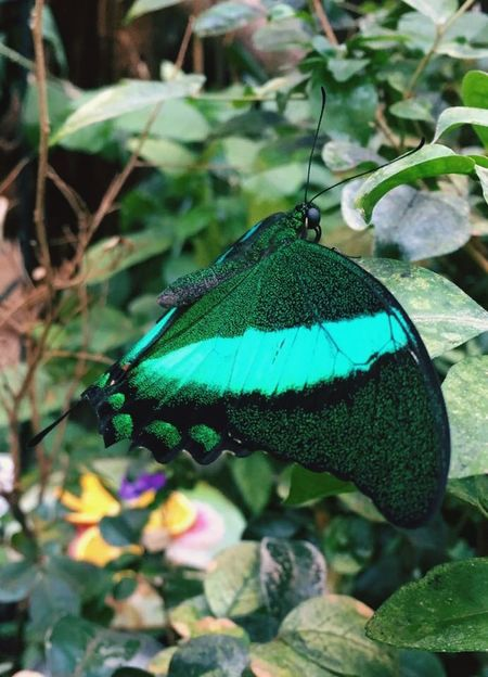 Butterfly One Animal Animal Themes Leaf Green Color No People Day Butterfly - Insect Close-up Insect