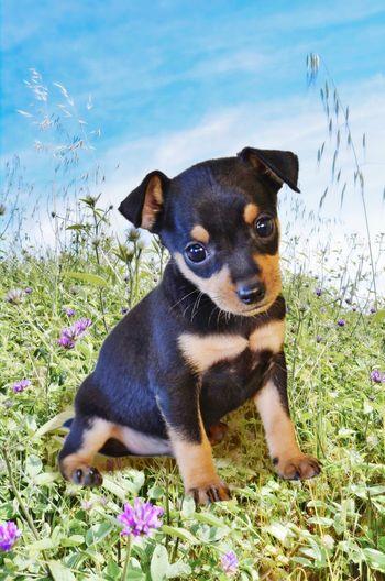 Portrait of a pincher dog sitting in grass