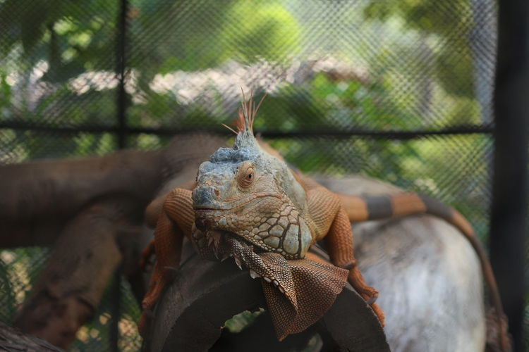 Close-Up Of Lizard In Cage At Zoo