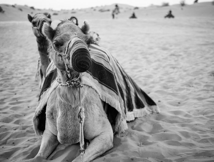 Close-up of camel in sand