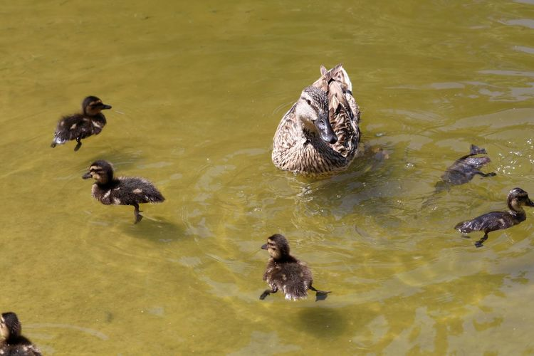 High Angle View Of Duck And Ducklings Swimming In Lake