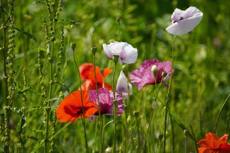 Close-up of purple poppy flowers growing on field