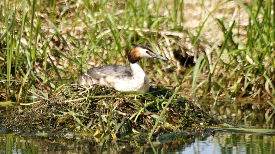 Great crested grebe... Bird Aves Grebe Podiceps Cristatus Great Crested Grebe Birds Bird Nest Nest Animal Animals Animals In The Wild Nature Wildlife Wildlife & Nature Water Grass Plant Water Plants Laying Red Eye Taking Photos Birds Of EyeEm  Outdoor Enjoying Life Lake