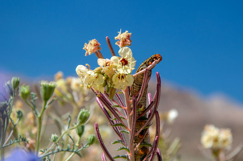 Anza Borrego Desert Flowers Flower Flowering Plant Plant Sky Fragility Freshness Nature Growth Beauty In Nature Vulnerability  Close-up No People Focus On Foreground Day Blue Sunlight Petal Clear Sky Land Flower Head Outdoors Springtime Anza Borrego