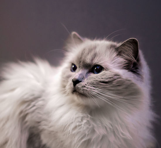 Close-up of cat against grey background