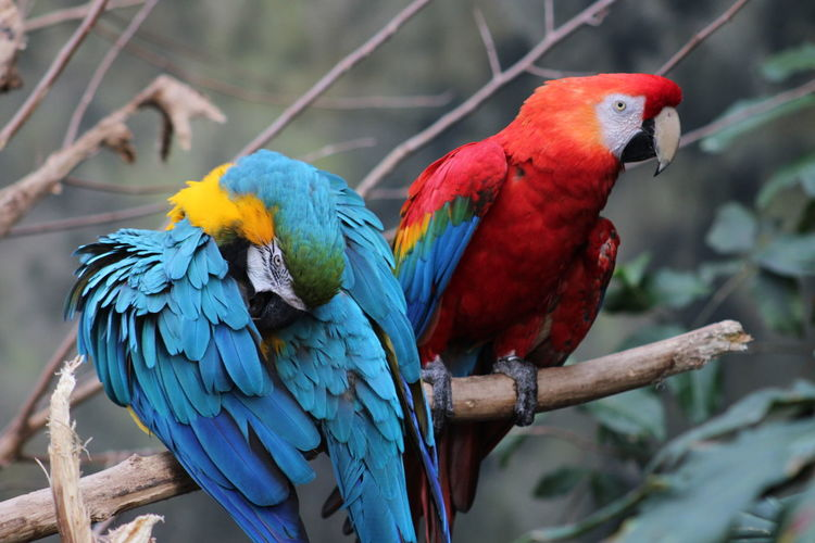 Close-Up Of Macaws Perching On Branch