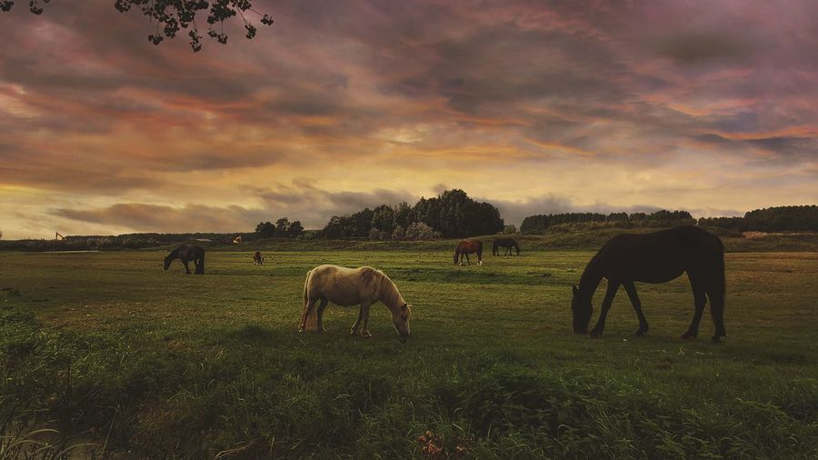 Horses Grazing On Field Against Cloudy Sky At Sunset
