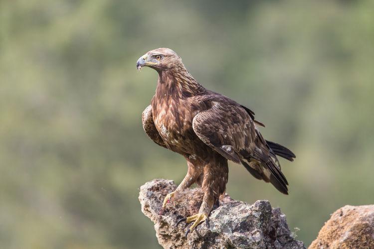 Golden eagle close up, aquila chrysaetos, andalusia, spain