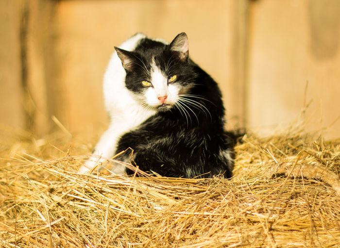 Portrait of cat sitting on straw