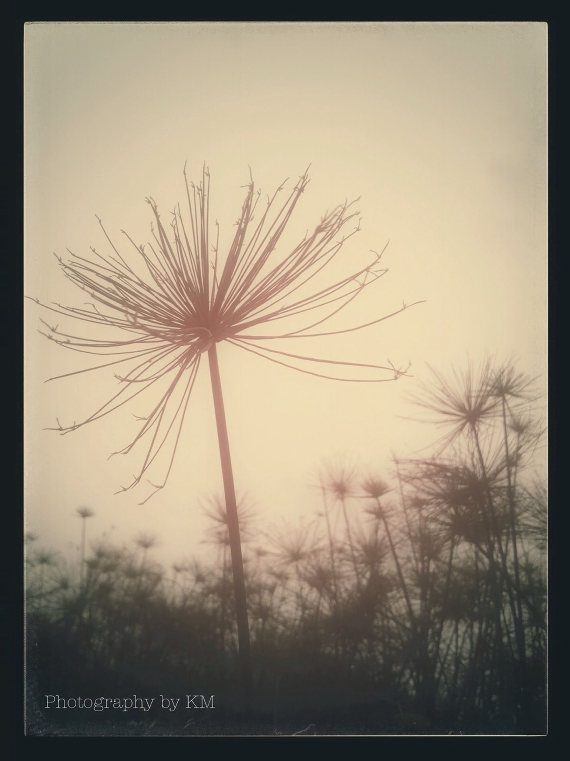 transfer print, auto post production filter, sky, clear sky, nature, growth, beauty in nature, silhouette, low angle view, field, tranquility, sunset, outdoors, dandelion, no people, tranquil scene, scenics, flower, tree, dusk
