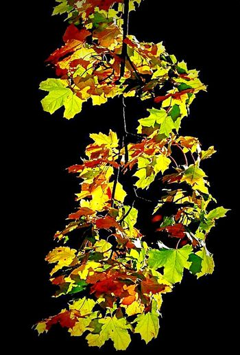 Leaf Nature Growth Close-up Beauty In Nature Yellow Tree Freshness No People Outdoors Oak Tree Autumn🍁🍁🍁 Green Color Torchlight