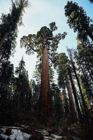 Branch California Cold Cold Temperature Day Forest Green Green Color Growth Light Low Angle View Lush Foliage Nature Outdoors Park Sequoia The Way Forward Tree Tree Trunk Winter WoodLand Woods