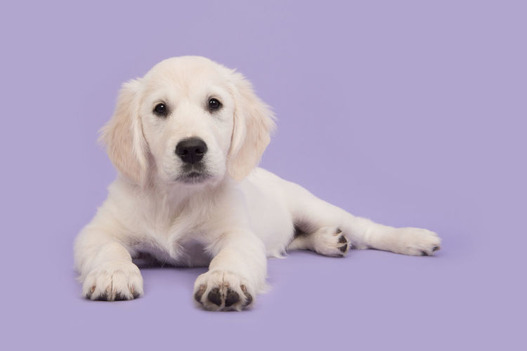 Cute golden retriever puppy lying on the floor facing the camera paws together on a soft purple background Golden Retriever Animal Themes Cute Cute Puppy Dog Full Length Lavender Colored Looking At Camera Lying Down One Animal Pets Puppy Purple Purple Background Retriever Studio Shot Young Animal