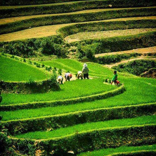Sapa Rice Paddies Sapa Ricepaddies View Valley Vietnam Traditional Trekking Travel
