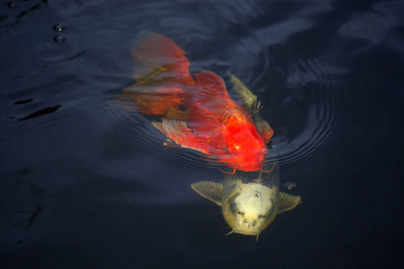 Close-up of fish swimming in water