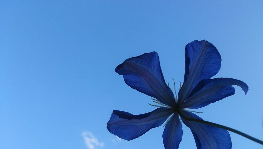 Beauty In Nature Nature No Filter Flower Head Flower Blue Petal Close-up Sky Iris - Plant Plant Life In Bloom Blooming Blossom