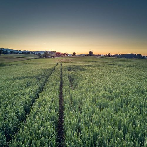 Agriculture Field Rural Scene Crop  Landscape Farm Nature Tranquility Growth Beauty In Nature Tranquil Scene Scenics Cereal Plant No People Outdoors Green Color Sunset Day Sky Clear Sky