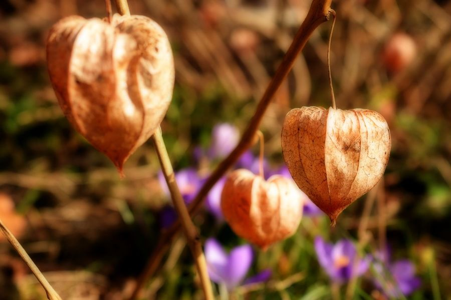 Orton Effect Healthy Eating Ready-to-eat Physalis Nature Flower Growth Freshness Plant Beauty In Nature Close-up No People Outdoors Focus On Foreground Day Fragility Flower Head