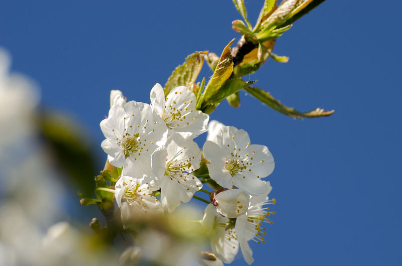 flower Beauty In Nature Cherry Blossom Clear Sky Close-up Day Flower Flower Head Flowering Plant Fragility Freshness Growth Low Angle View Nature No People Outdoors Petal Plant Pollen Selective Focus Sky Springtime Tree Vulnerability  White Color