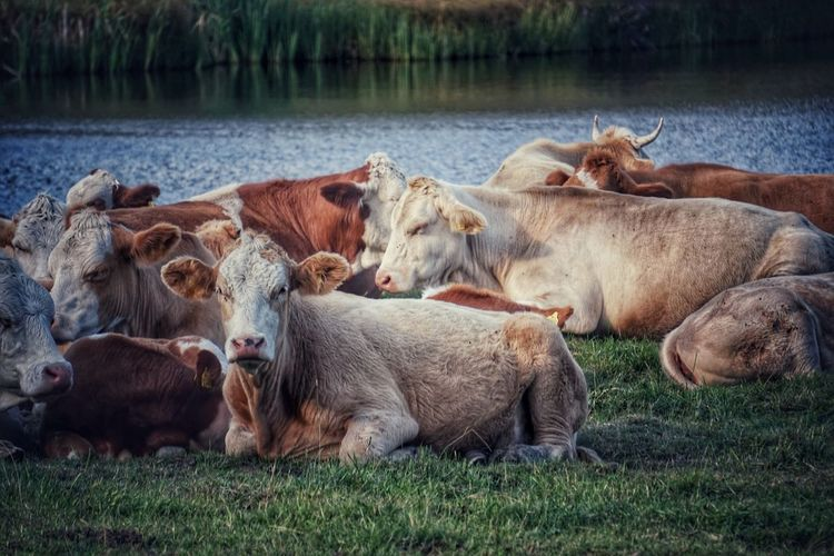 Herd of cow in the ground