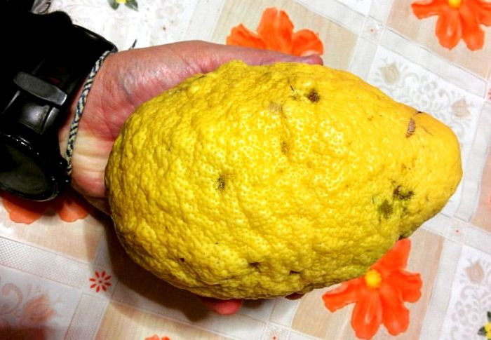 Human Body Part One Person Human Hand Archival Yellow Indoors  Food Adults Only People Close-up Only Men Adult One Man Only Day Lemon Limone Gigante Gigantes Giants Limonesiciliano Sicilia Sicilian Lemon Vegetarian Food Preparing Food Foodpics