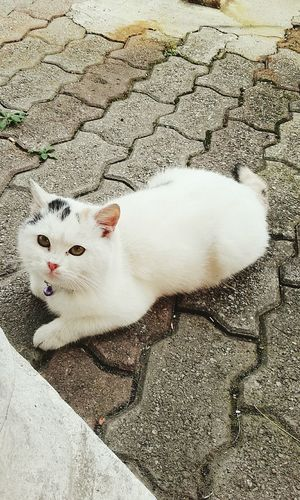 bellezza indescrivibile Animal Themes Domestic Animals Pets White Color Domestic Cat Loveforcats Feline Beauty