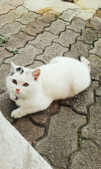 bellezza indescrivibile Animal Themes Domestic Animals Pets White Color Domestic Cat Loveforcats Feline Beauty