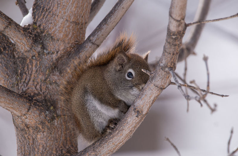 Animal Themes Animal Wildlife Animals In The Wild Branch Day Looking At Camera Mammal Nature No People One Animal Ontario, Canada Outdoors Small Animal Snow Squirrel Squirrel Closeup Squirrel In A Tree Squirrels Sunny Day The Week On EyeEm Tree Tree Trunk Wildlife Wildlife & Nature Winter