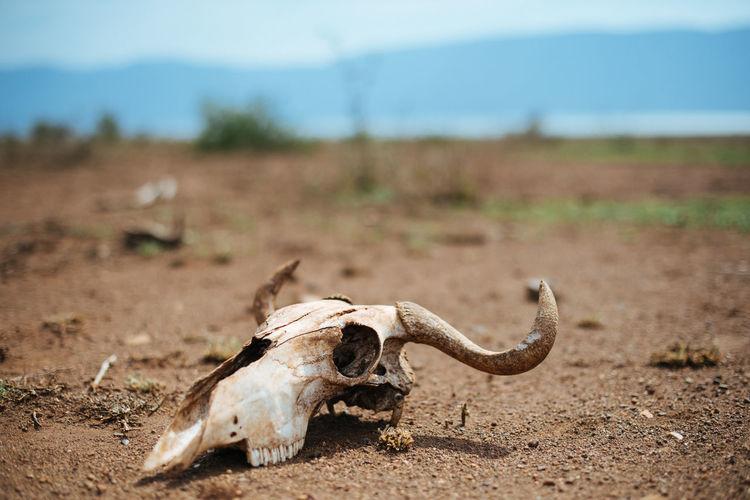 View of animal skull on land