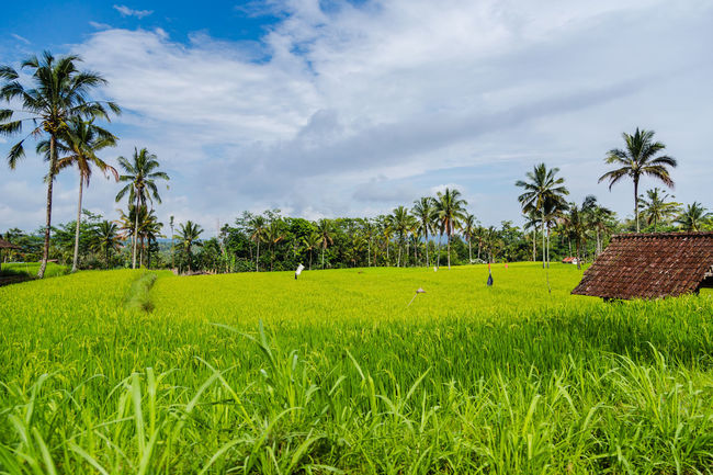 Bali Agriculture Beauty In Nature Cloud - Sky Day Field Grass Green Color Growth Landscape Nature No People Outdoors Palm Tree Rice Paddy Rural Scene Scenics Sky Tranquility Tree