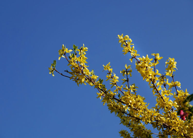 Forsythienblüten Goldregen💫 Beauty In Nature Blauer Himmel Und Sonnenschein Blossom Blue Branch Clear Sky Copy Space Day Flower Flowering Plant Fragility Freshness Growth Low Angle View Nature No People Outdoors Plant Sky Spring Springtime Tree Vulnerability