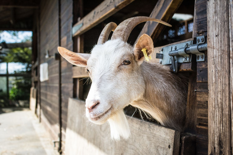 Close-Up Of Horned Goat Peeking Through Fence In Pen
