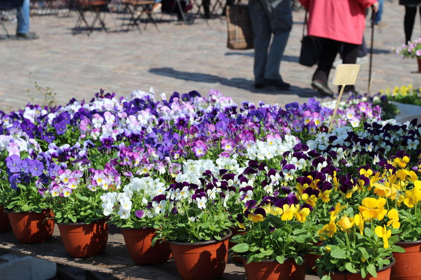 Pictures taken at Hakaniemi Market Hall, no editing, no touching. April 2016 Beauty In Nature Blooming Day FIN Finnish Spring Flower Flower Shop Fragility Freshness Growth Hakaniemen Kauppahalli Hakaniemi Hakaniemi Market Hall Hakaniemi Tori Helsinki Leisure Activity Lifestyles Nature Outdoors Petal Plant Purple Upclose Street Photography The Shop Around The Corner