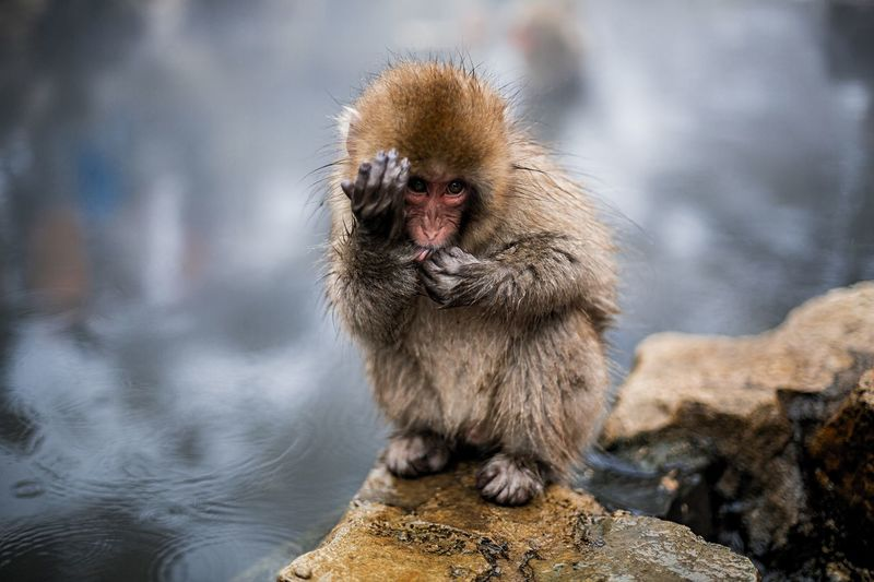 Portrait of japanese macaque on rock by hot spring