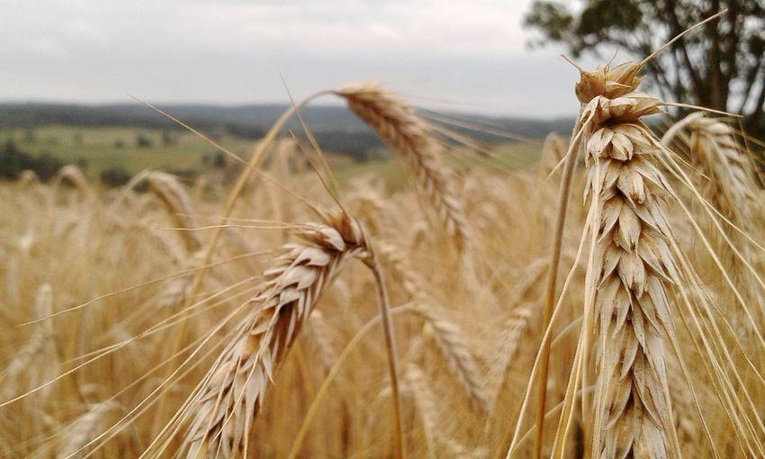 Plant Wheat