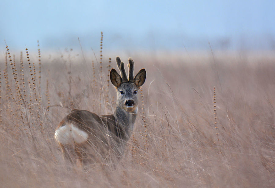 somewhere in the Hungarian wilderness Animal Themes Animal Wildlife Animals In The Wild Arid Climate Bare Beauty In Nature Day Deer Hungarian Landscape Looking At Camera Mammal Nature No People One Animal Outdoors Portrait Roe Deer Sky Young Animal
