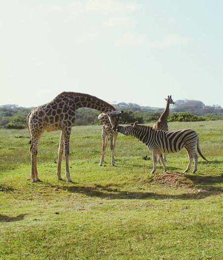 Giraffe Zebra Animals Animalkindness Kisses Animalkingdom Beautiful Nature Southafrica Lionpark 2010 Animallovers