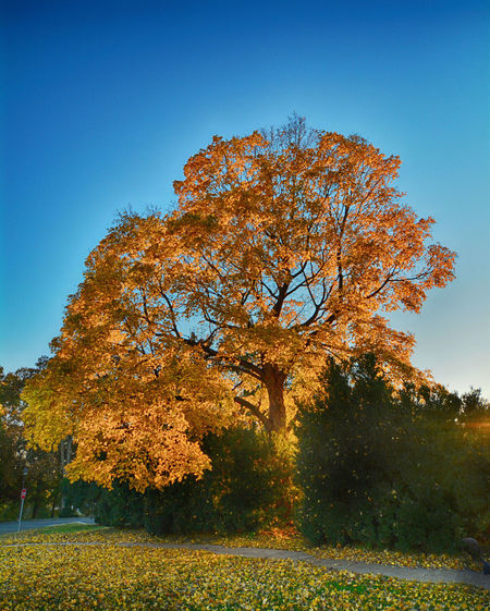 Tree Autumn Sky Beauty In Nature Clear Sky Non-urban Scene Tranquil Scene Tranquility Nature Orange Color Scenics - Nature