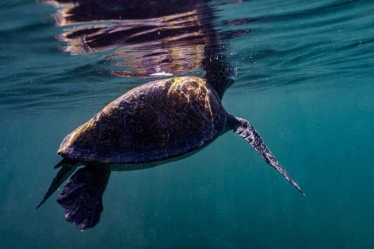 Close-up of turtle swimming in turquoise sea