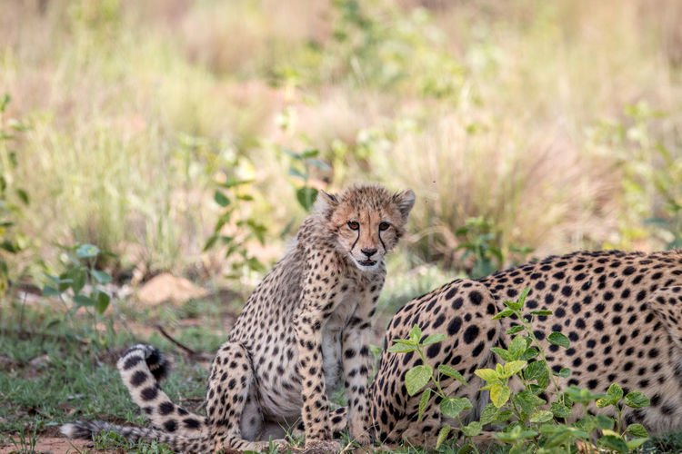 Cheetah cub standing in the grass and starring at the camera in the Welgevonden game reserve, South Africa. Nature Animal Animals In The Wild Wildlife Wildlife & Nature Nature Photography Africa African Safari Safari Animals Safari Beauty In Nature Travel Wildlife Photography Animals Animal Themes African Cheetah Acinonyx Jubatus Cat Mammal Big Cat Endangered Species Kruger Park Young Cubs