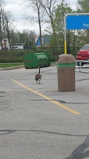 Just a goose sauntering the local Walmart parking lot. Walmart goose strolling misplaced