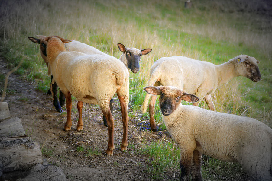 Animal Animal Family Animal Themes Day Field Grazing Landscape Livestock Medium Group Of Animals Natur Nature No People Outdoors Schafe Shapes Three Animals Tiere Young Animal
